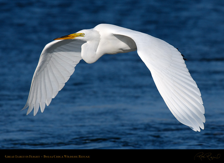 GreatEgret_Flight_X4593