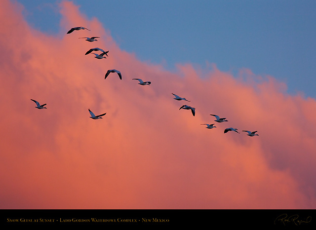 Ladd_Gordon_Snow_Geese_at_Sunset_HS8379