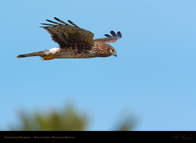 NorthernHarrier_3207