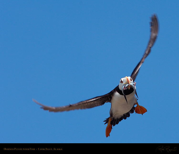 Puffin_withFish_HS2680M