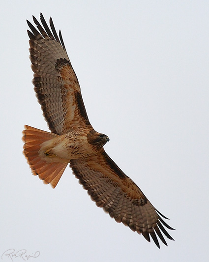 Red-Tailed_Hawk_5639