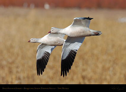 Ross'sGeese_inFlight_2240