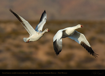 SnowGeese_MorningFlight_X0890