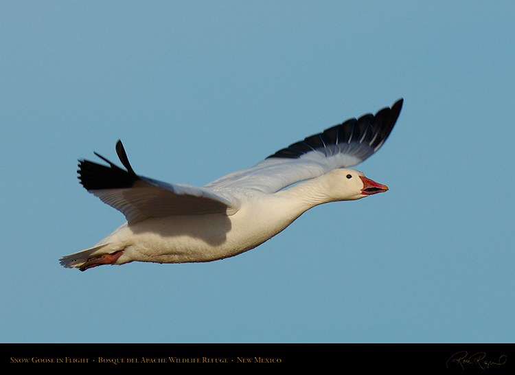 SnowGoose_inFlight_X0866