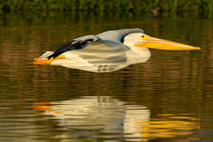 White_Pelican_Sunset_X5634