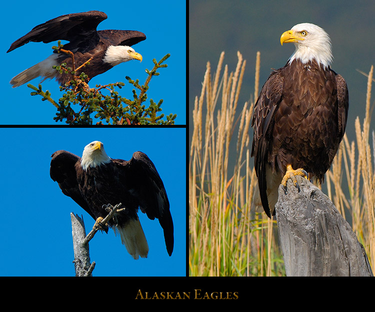 Alaskan_Eagles