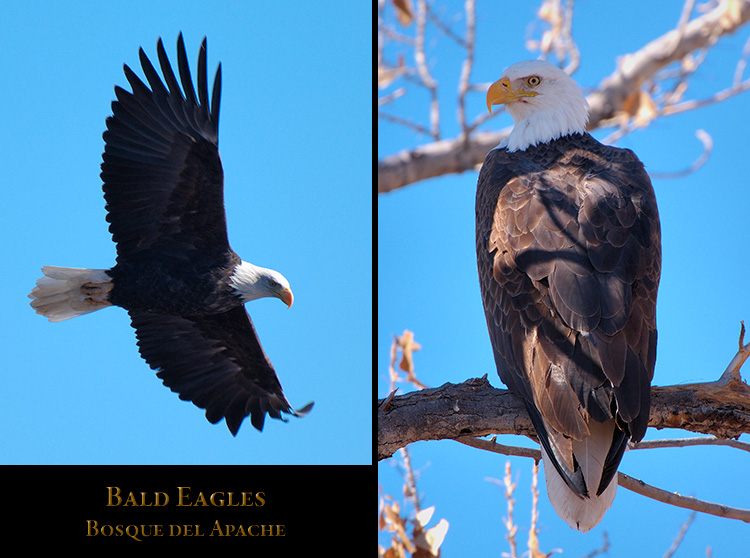 Bosque_Eagles