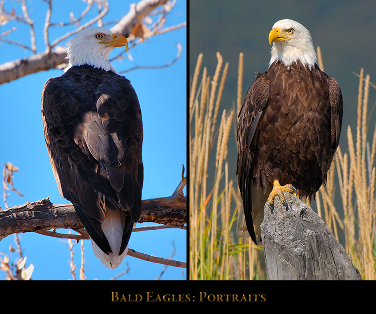 Eagle_Portraits