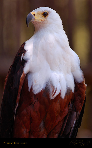 African_FishEagle_HS6454
