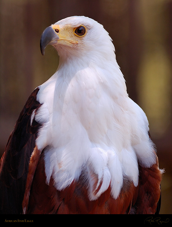 African_FishEagle_HS6455M