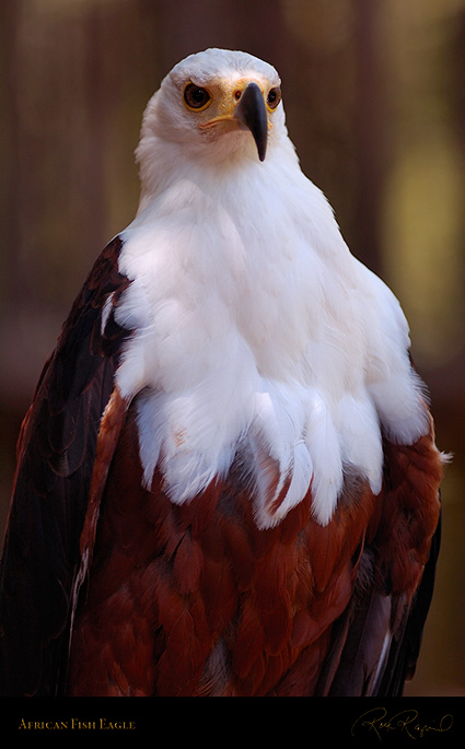 African_FishEagle_HS6463