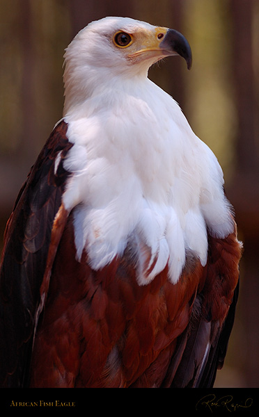 African_FishEagle_HS6468