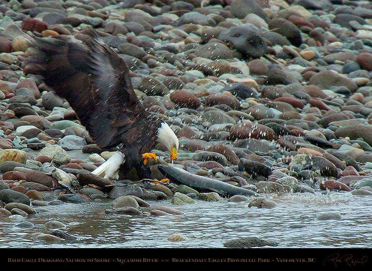 BaldEagle_withSalmon_8634