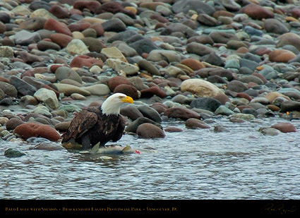 BaldEagle_withSalmon_8605
