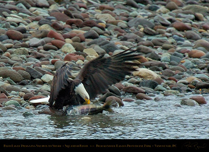 BaldEagle_withSalmon_8606
