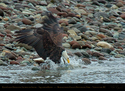 BaldEagle_withSalmon_8607