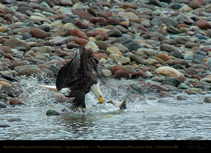 BaldEagle_withSalmon_8608