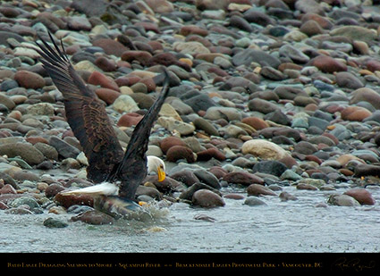BaldEagle_withSalmon_8614