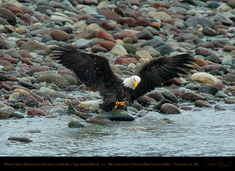 BaldEagle_withSalmon_8615