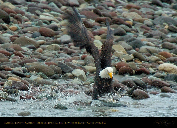 BaldEagle_withSalmon_8616