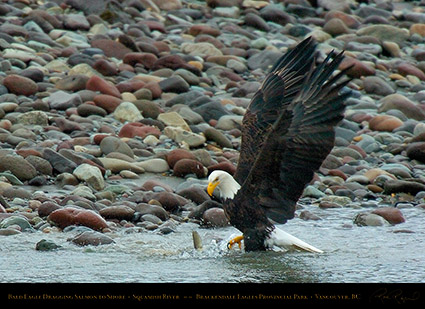 BaldEagle_withSalmon_8617