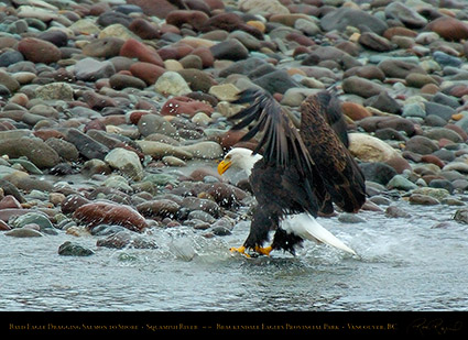 BaldEagle_withSalmon_8618