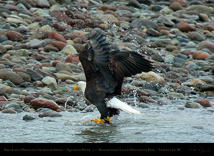 BaldEagle_withSalmon_8619