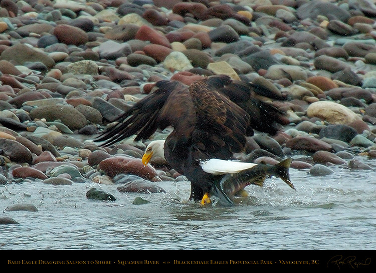 BaldEagle_withSalmon_8621