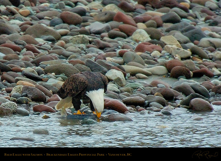 BaldEagle_withSalmon_8630c