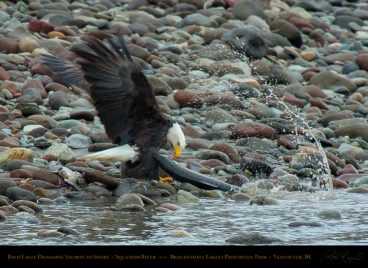 BaldEagle_withSalmon_8633
