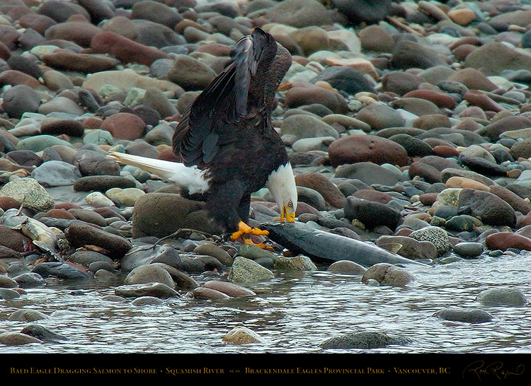 BaldEagle_withSalmon_8653