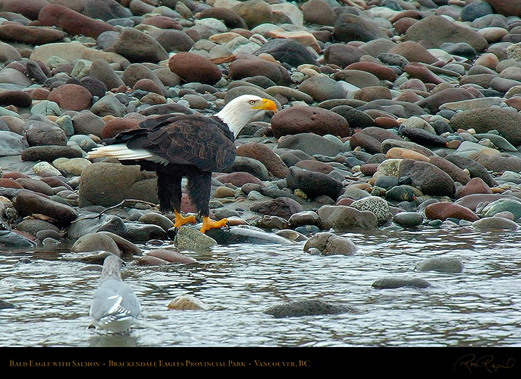 BaldEagle_withSalmon_8656