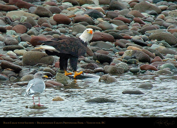 BaldEagle_withSalmon_8657