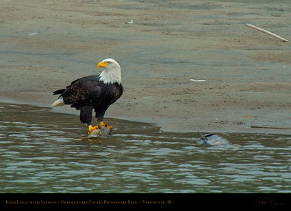 BaldEagle_withSalmon_8669