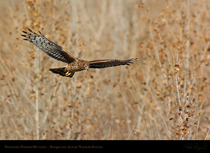 Harrier_Hunting_5124