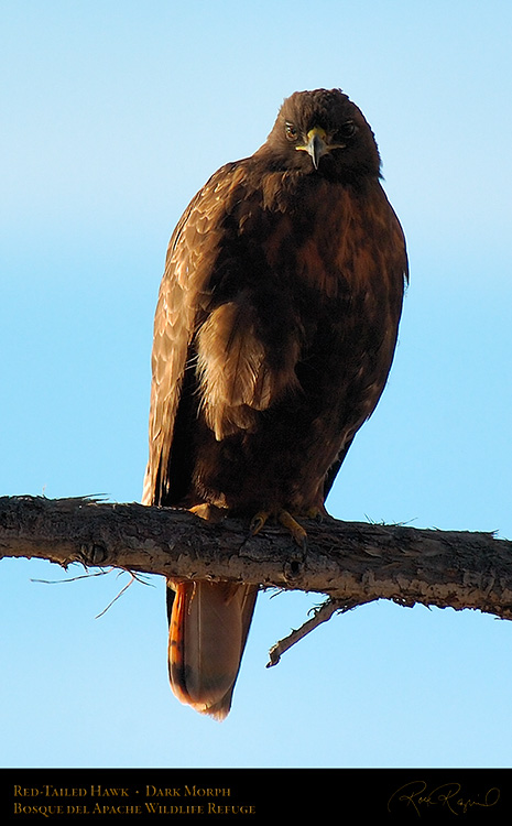 DarkMorph_Red-Tailed_Hawk_4245c