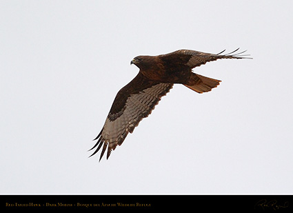 DarkMorph_Red-Tailed_Hawk_5548