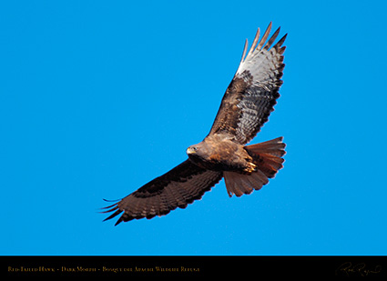 DarkMorph_Red-Tailed_Hawk_X3974