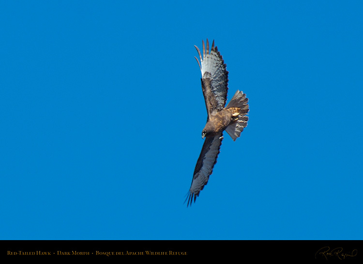 DarkMorph_Red-Tailed_Hawk_X6648