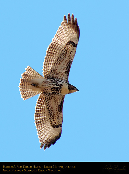 Harlans_Red-Tail_LightMorph_Juvenile_0707c