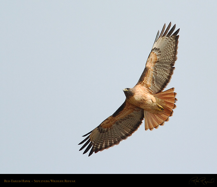 Red-Tailed_Hawk_0275M