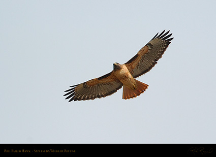 Red-Tailed_Hawk_0278