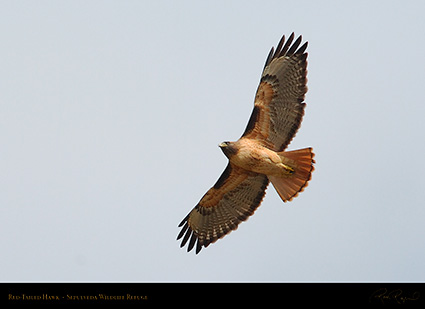 Red-Tailed_Hawk_0281