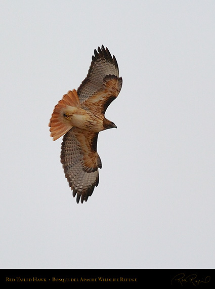 Red-Tailed_Hawk_5638