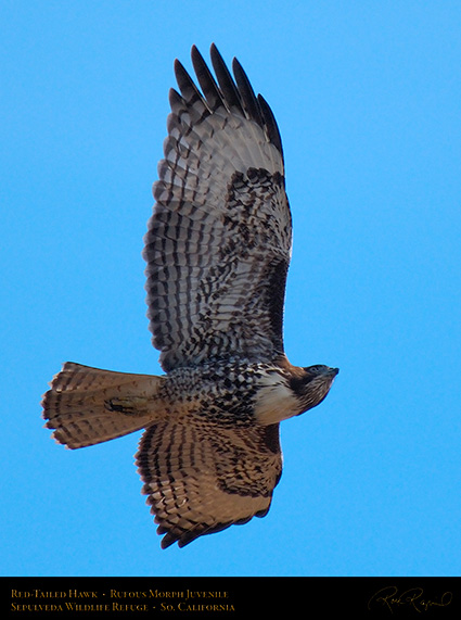 RufousMorph_Red-Tail_Juvenile_X2796c
