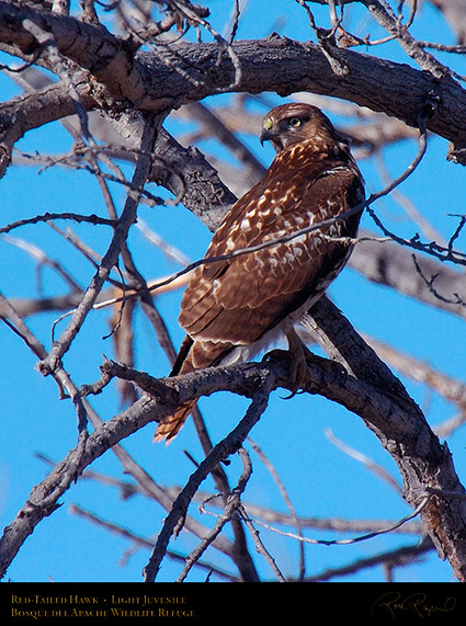 LightJuvenile_Red-Tail_1896c