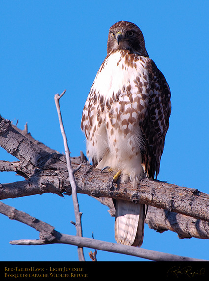 LightJuvenile_Red-Tail_X3735