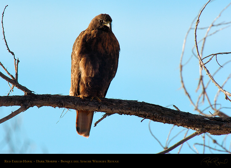 DarkMorph_Red-Tailed_Hawk_4252