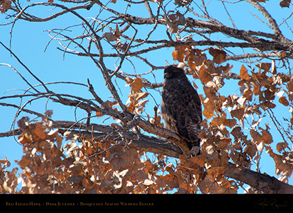 Juvenile_Dark-Morph_Red-Tail_X3966