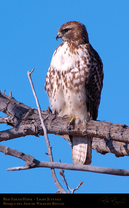 LightJuvenile_Red-Tail_X3716